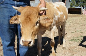 ferncrest off-grid mini-cows
